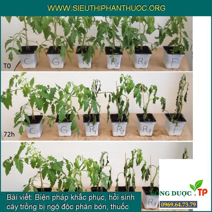 Biện pháp khắc phục, hồi sinh cây trồng bị ngộ độc phân bón, thuốc BVTV