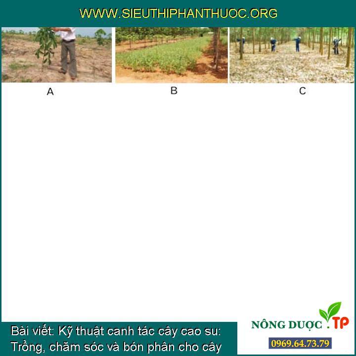 Kỹ thuật canh tác cây cao su: Trồng, chăm sóc và bón phân cho cây cao su