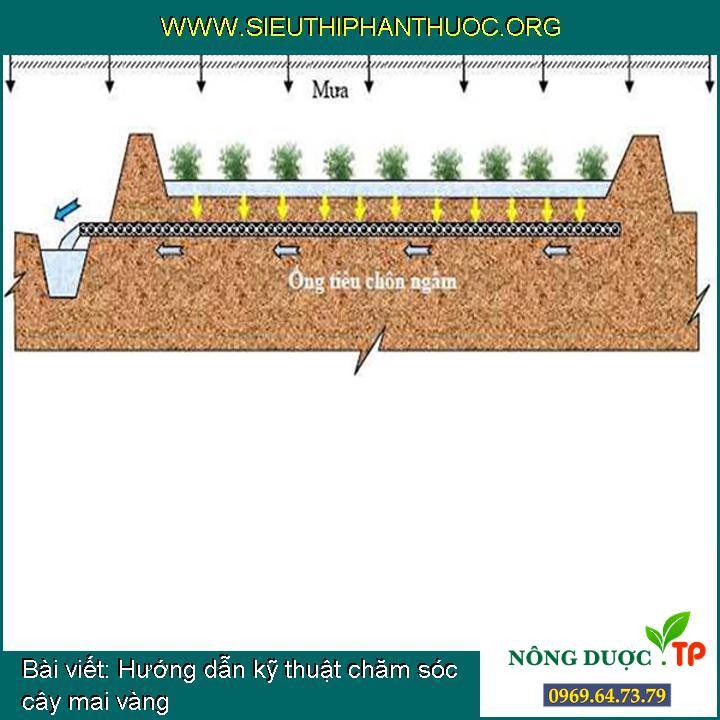 Hướng dẫn kỹ thuật chăm sóc cây mai vàng