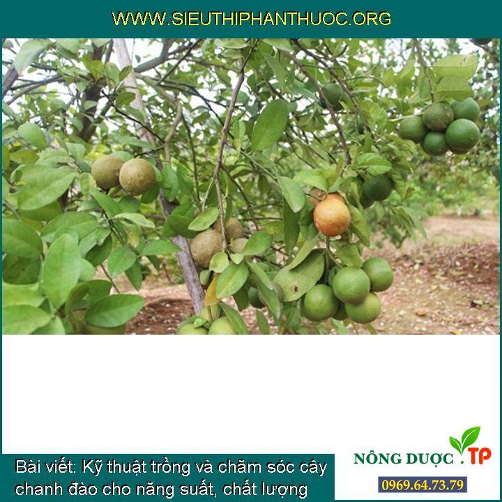 Kỹ thuật trồng và chăm sóc cây chanh đào cho năng suất, chất lượng cao