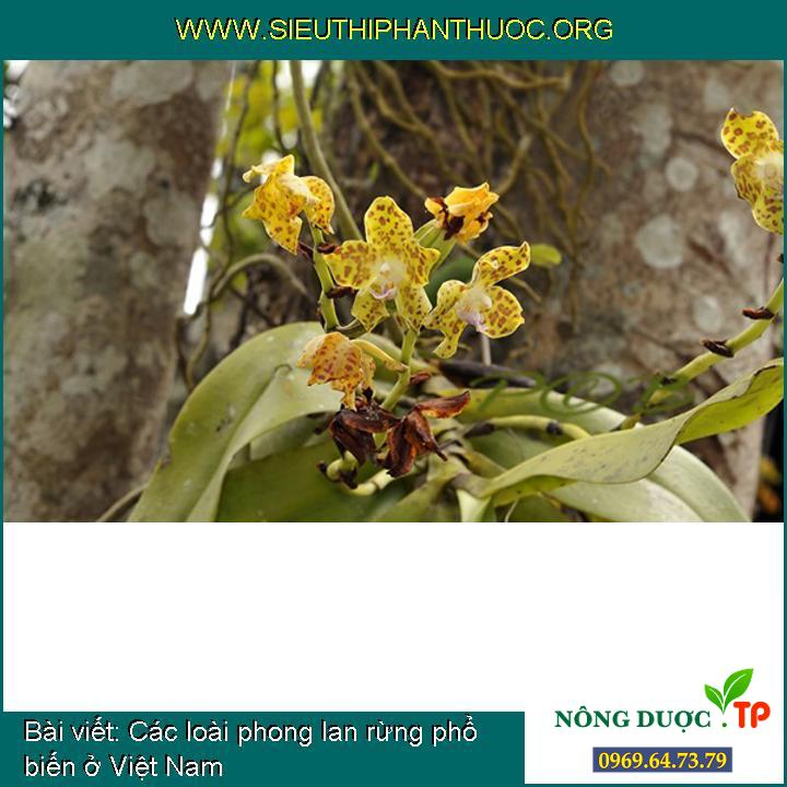 Các loài phong lan rừng phổ biến ở Việt Nam
