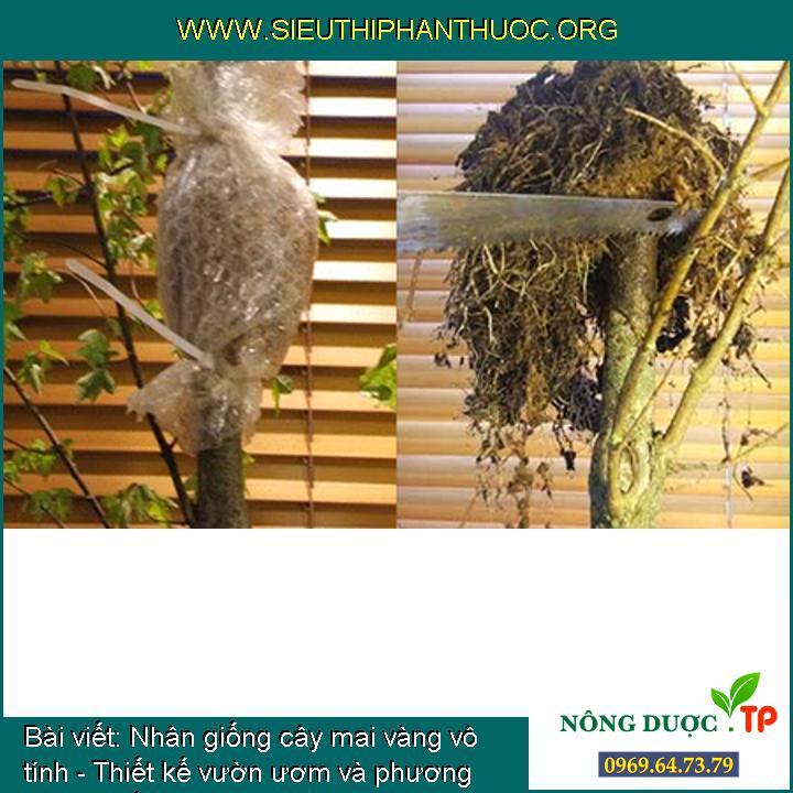 Nhân giống cây mai vàng vô tính - Thiết kế vườn ươm và phương pháp chiết cành