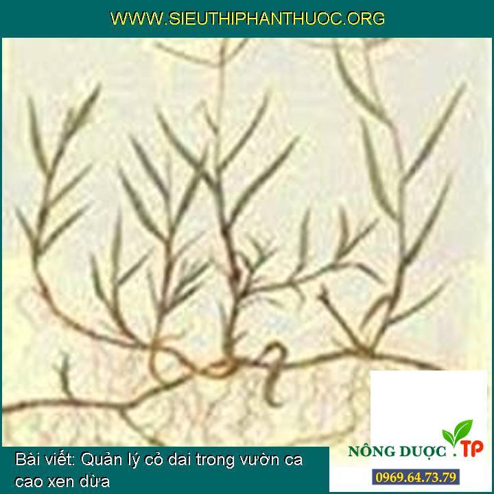 Quản lý cỏ dai trong vườn ca cao xen dừa