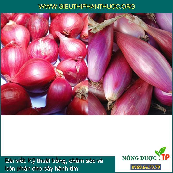 Kỹ thuật trồng, chăm sóc và bón phân cho cây hành tím
