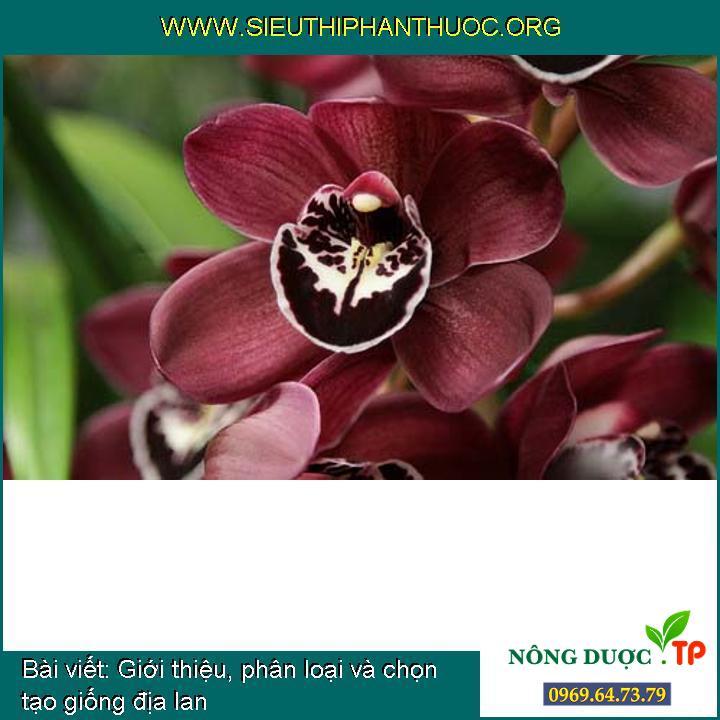 Giới thiệu, phân loại và chọn tạo giống địa lan