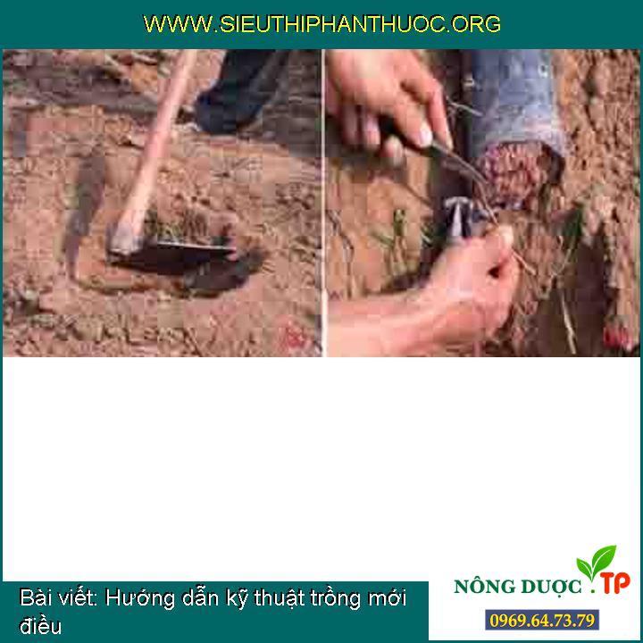 Hướng dẫn kỹ thuật trồng mới điều