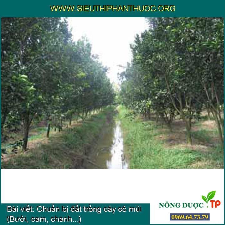 Chuẩn bị đất trồng cây có múi (Bưởi, cam, chanh...)