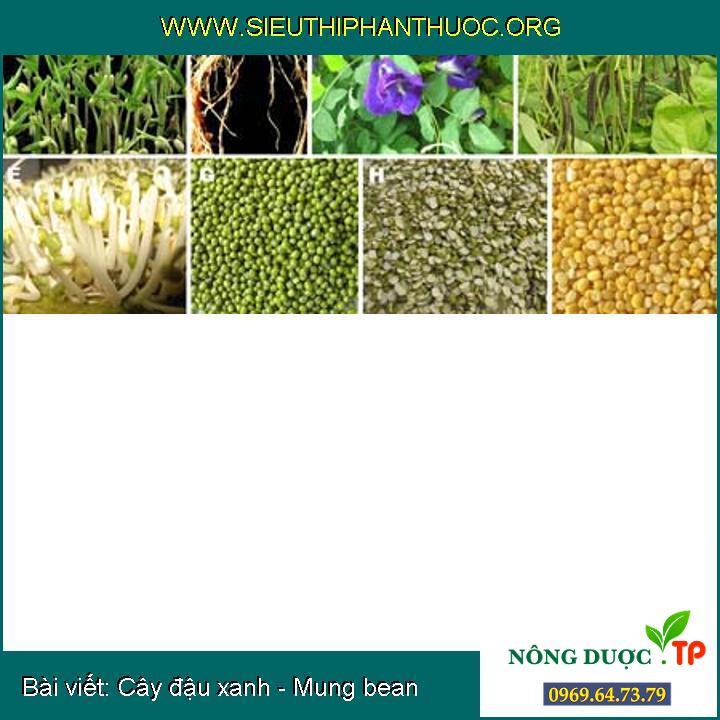 Cây đậu xanh - Mung bean