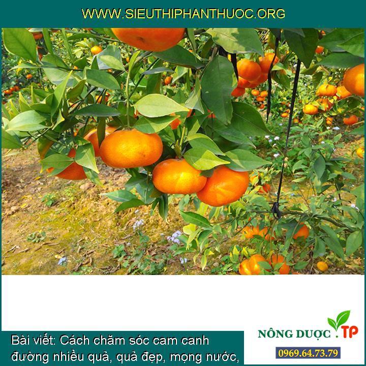 Cách chăm sóc cam canh đường nhiều quả, quả đẹp, mọng nước, ra quả hàng năm.