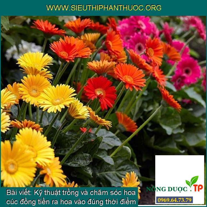 Kỹ thuật trồng và chăm sóc hoa cúc đồng tiền ra hoa vào đúng thời điểm tết