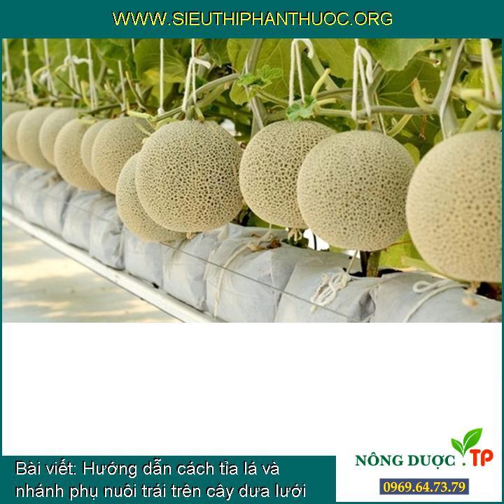Hướng dẫn cách tỉa lá và nhánh phụ nuôi trái trên cây dưa lưới cho hiệu quả cao