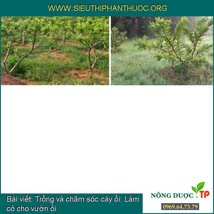 Trồng và chăm sóc cây ổi: Làm cỏ cho vườn ổi