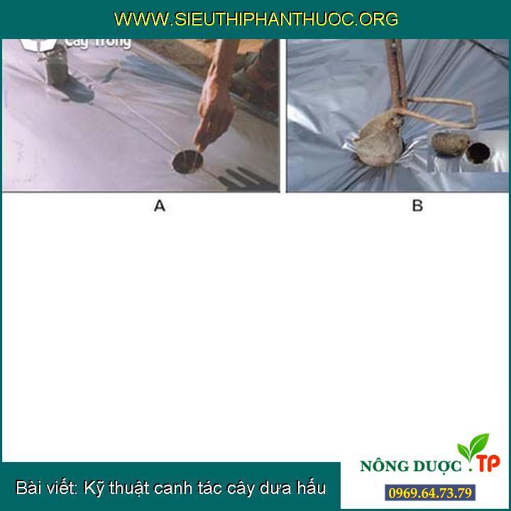 Kỹ thuật canh tác cây dưa hấu