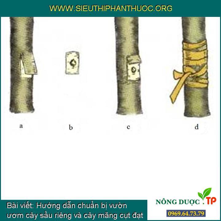 Hướng dẫn chuẩn bị vườn ươm cây sầu riêng và cây măng cụt đạt tỷ lệ cao