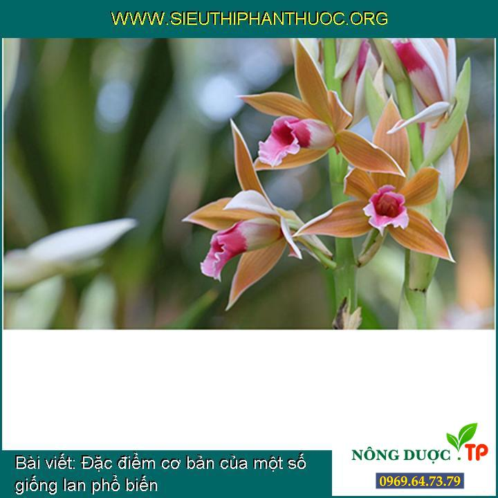 Đặc điểm cơ bản của một số giống lan phổ biến