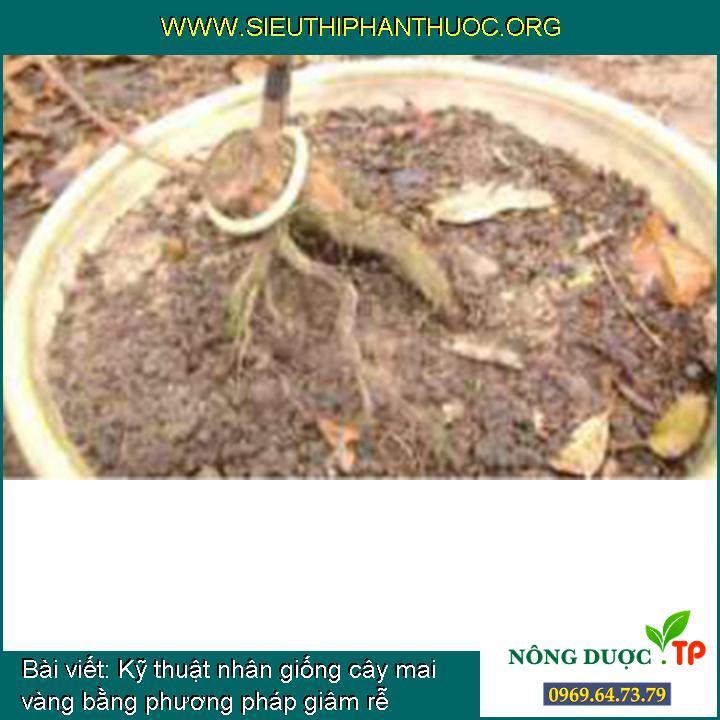 Kỹ thuật nhân giống cây mai vàng bằng phương pháp giâm rễ