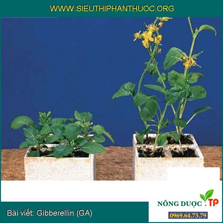 Gibberellin (GA)