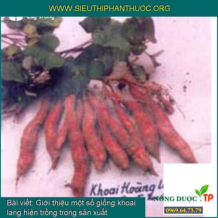 Giới thiệu một số giống khoai lang hiện trồng trong sản xuất