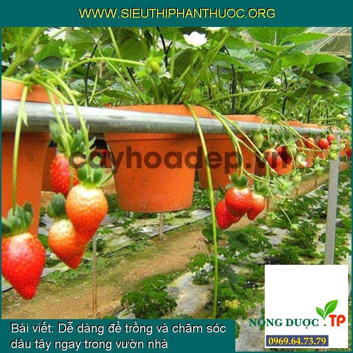 Dễ dàng để trồng và chăm sóc dâu tây ngay trong vườn nhà
