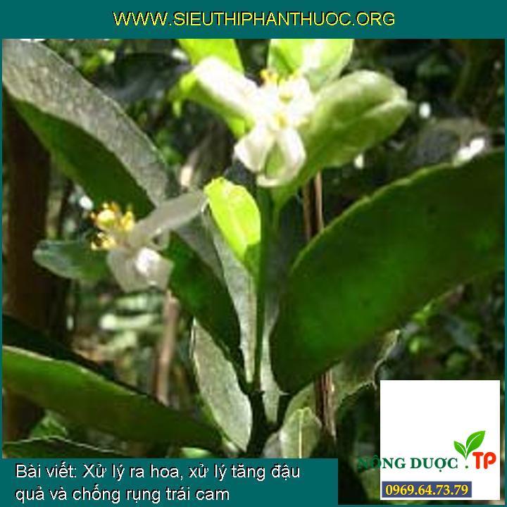Xử lý ra hoa, xử lý tăng đậu quả và chống rụng trái cam