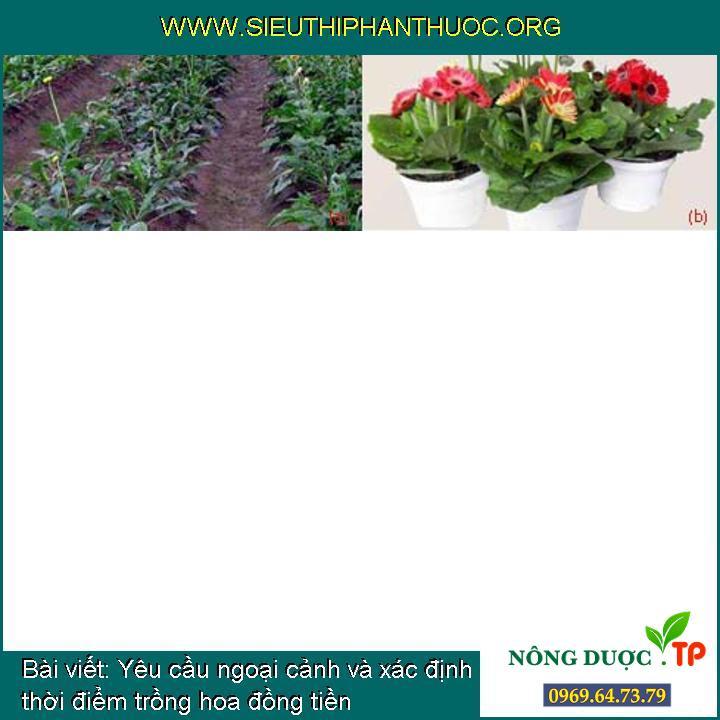 Yêu cầu ngoại cảnh và xác định thời điểm trồng hoa đồng tiền