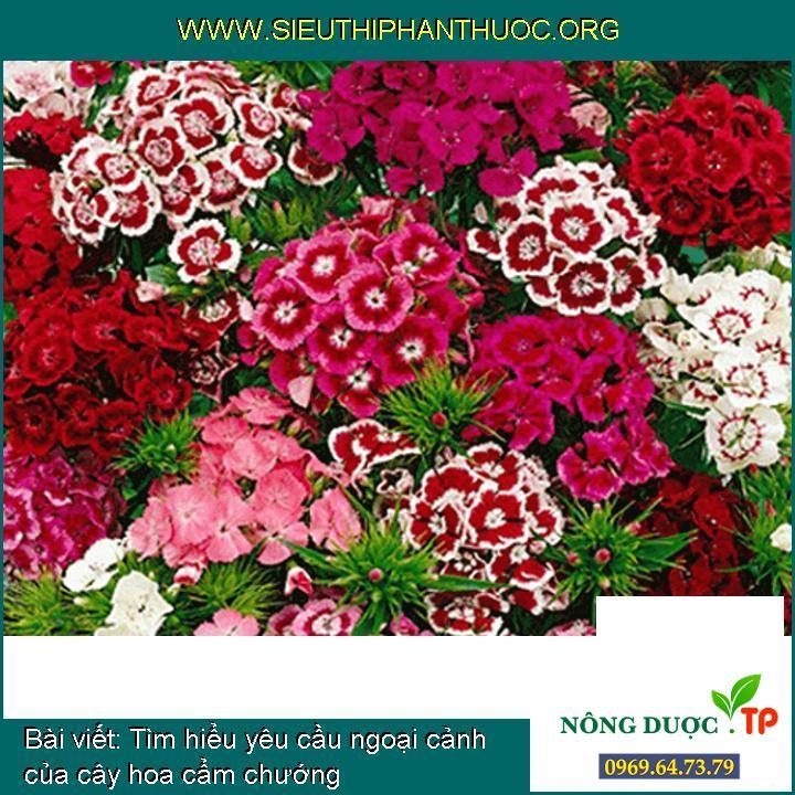 Tìm hiểu yêu cầu ngoại cảnh của cây hoa cẩm chướng