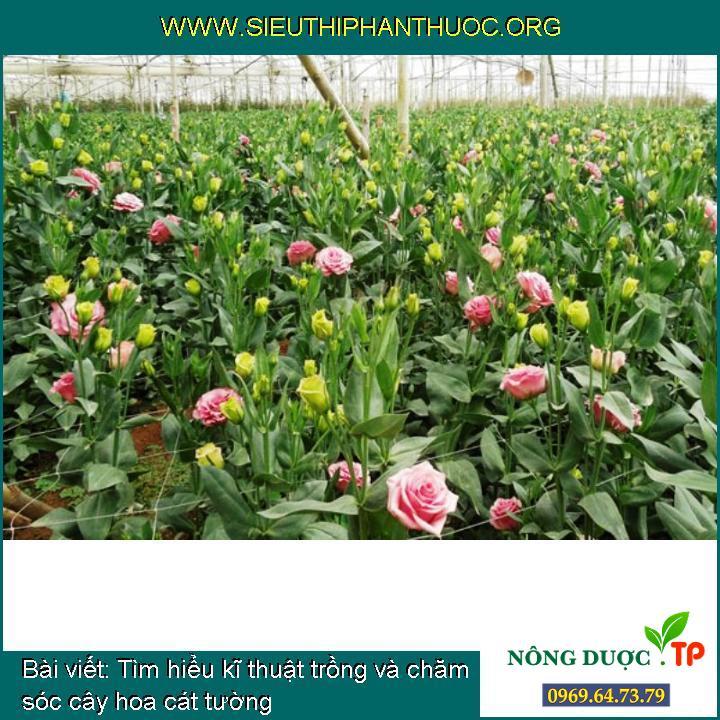 Tìm hiểu kĩ thuật trồng và chăm sóc cây hoa cát tường