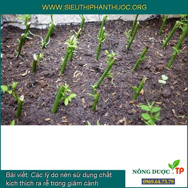 Các lý do nên sử dụng chất kích thích ra rễ trong giâm cành