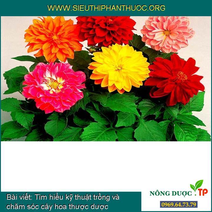 Tìm hiểu kỹ thuật trồng và chăm sóc cây hoa thược dược