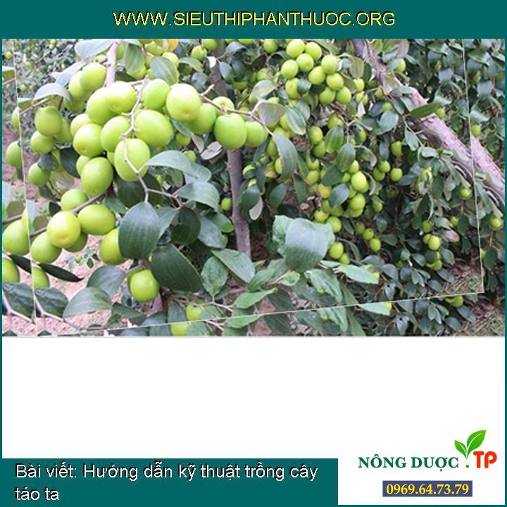 Hướng dẫn kỹ thuật trồng cây táo ta