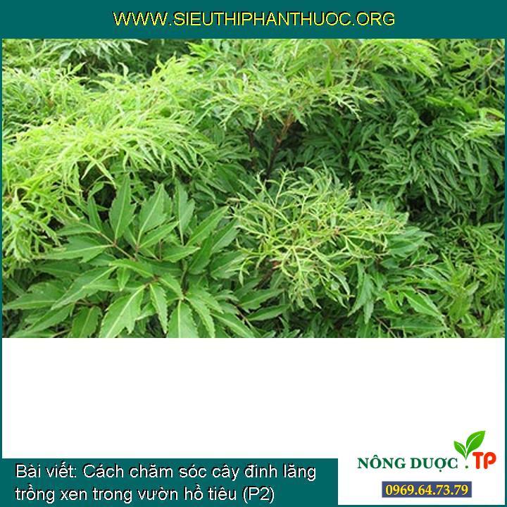Cách chăm sóc cây đinh lăng trồng xen trong vườn hồ tiêu (P2)