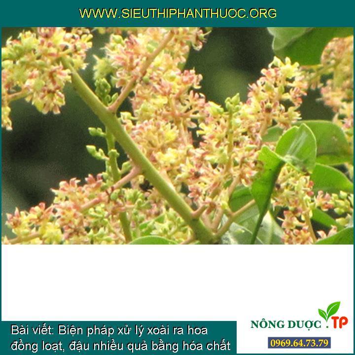 Biện pháp xử lý xoài ra hoa đồng loạt, đậu nhiều quả bằng hóa chất