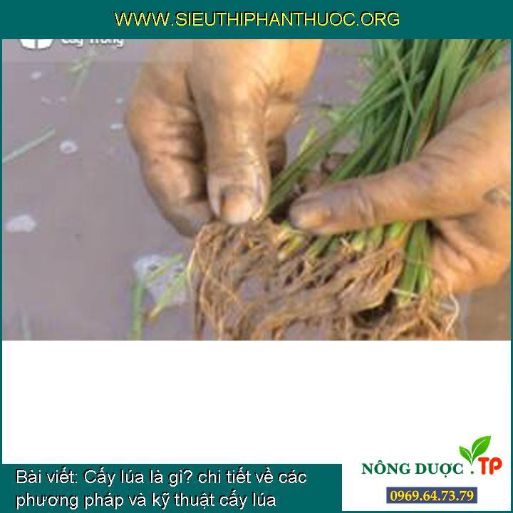 Cấy lúa là gì? chi tiết về các phương pháp và kỹ thuật cấy lúa