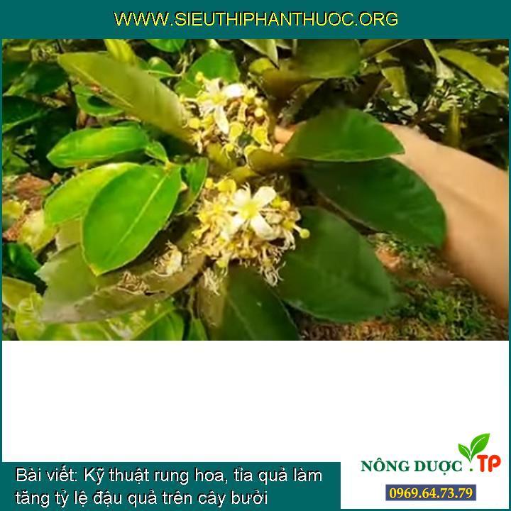 Kỹ thuật rung hoa, tỉa quả làm tăng tỷ lệ đậu quả trên cây bưởi