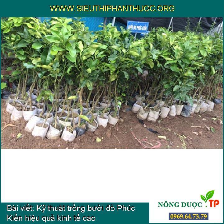 Kỹ thuật trồng bưởi đỏ Phúc Kiến hiệu quả kinh tế cao