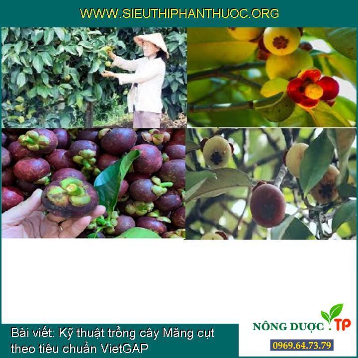 Kỹ thuật trồng cây Măng cụt theo tiêu chuẩn VietGAP