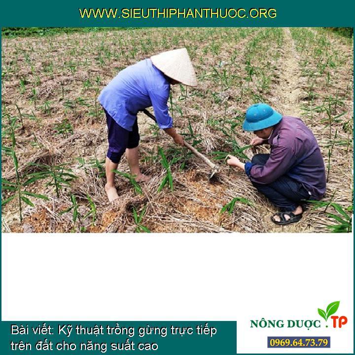 Kỹ thuật trồng gừng trực tiếp trên đất cho năng suất cao