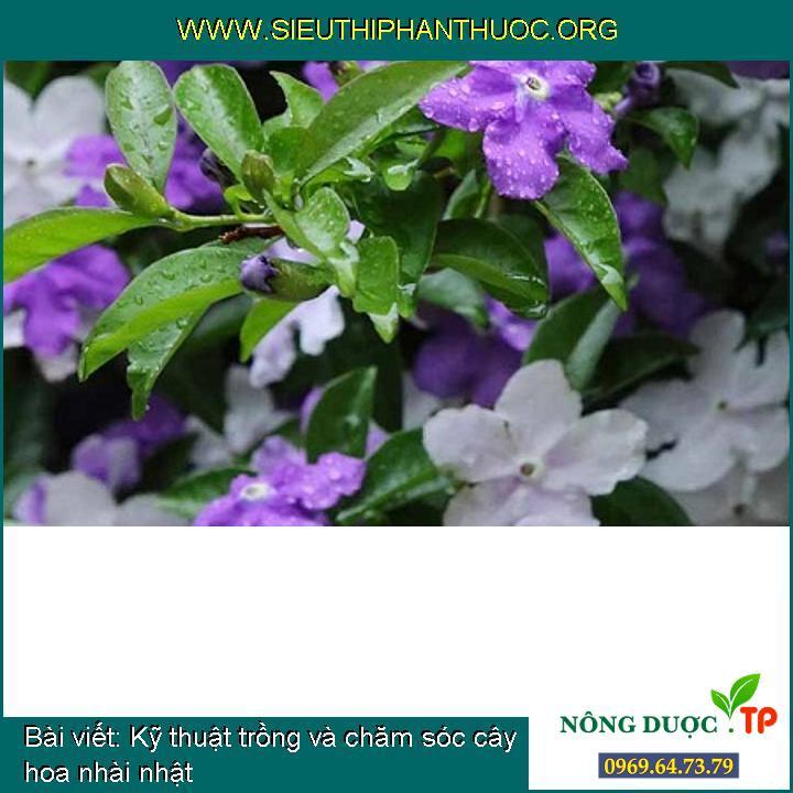 Kỹ thuật trồng và chăm sóc cây hoa nhài nhật