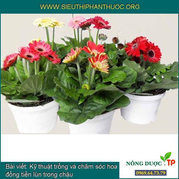 Kỹ thuật trồng và chăm sóc hoa đồng tiền lùn trong chậu