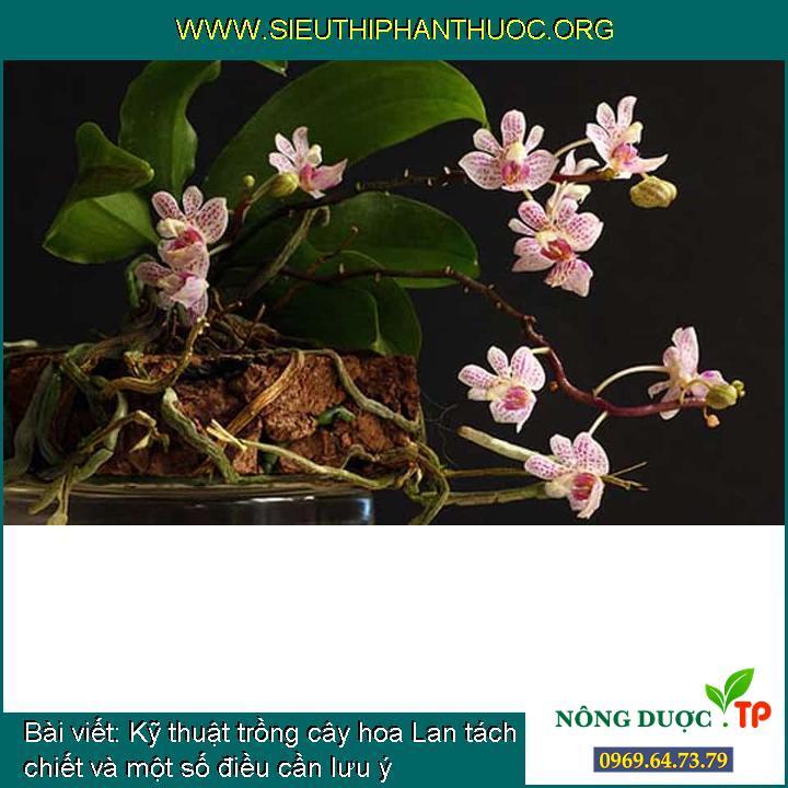 Kỹ thuật trồng cây hoa Lan tách chiết và một số điều cần lưu ý