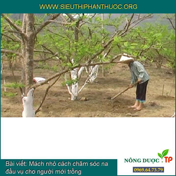 Mách nhỏ cách chăm sóc na đầu vụ cho người mới trồng