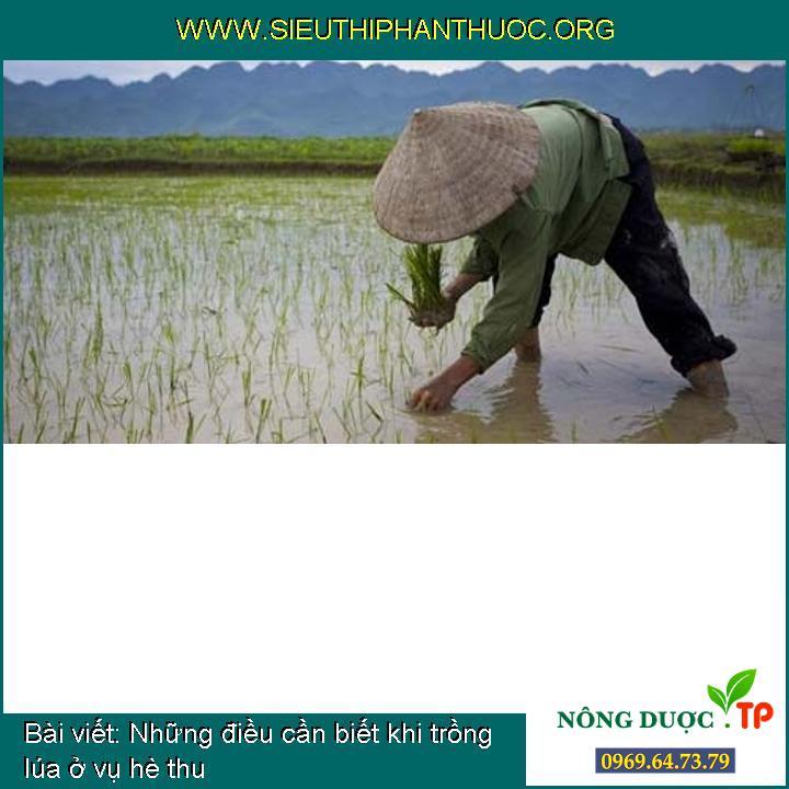 Những điều cần biết khi trồng lúa ở vụ hè thu