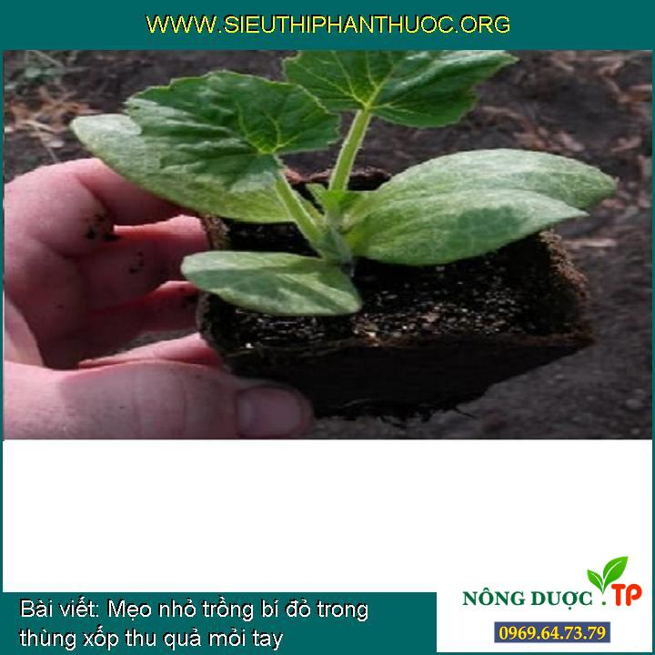 Mẹo nhỏ trồng bí đỏ trong thùng xốp thu quả mỏi tay