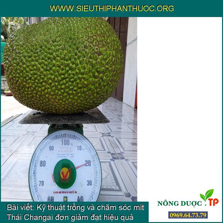 Kỹ thuật trổng và chăm sóc mít Thái Changai đơn giảm đạt hiệu quả cao