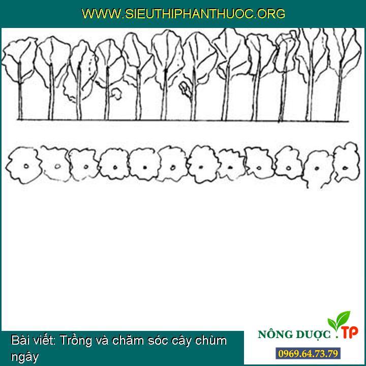 Trồng và chăm sóc cây chùm ngây