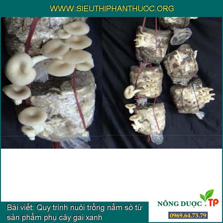 Quy trình nuôi trồng nấm sò từ sản phẩm phụ cây gai xanh