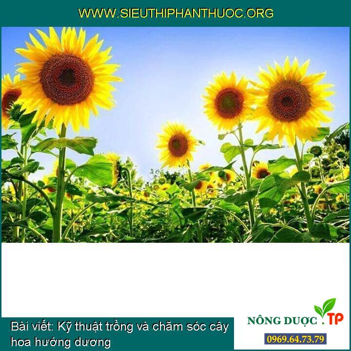 Kỹ thuật trồng và chăm sóc cây hoa hướng dương