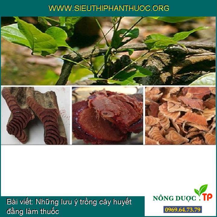 Những lưu ý trồng cây huyết đằng làm thuốc