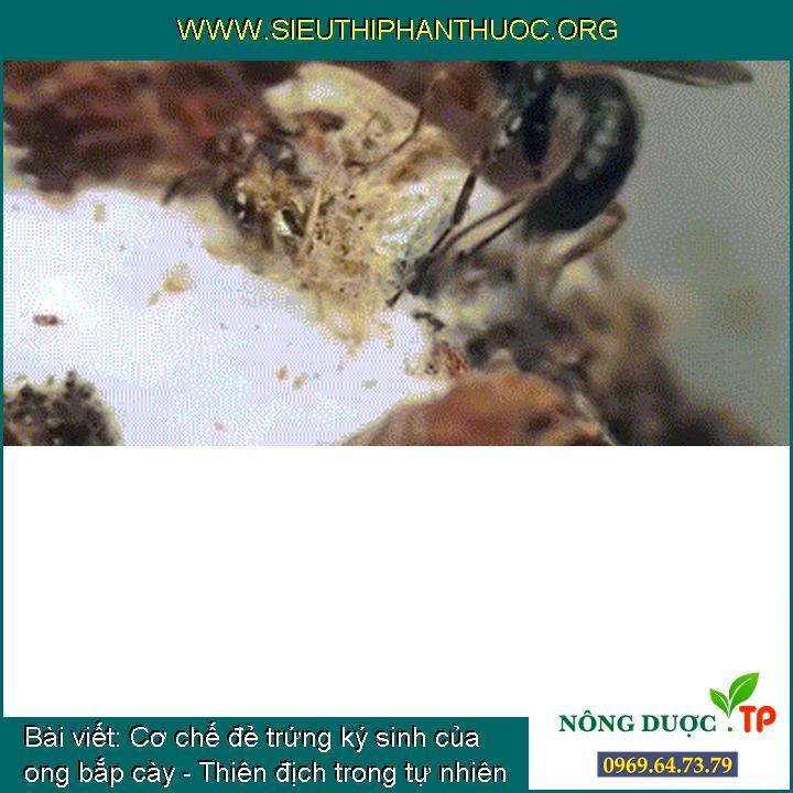 Cơ chế đẻ trứng ký sinh của ong bắp cày - Thiên địch trong tự nhiên