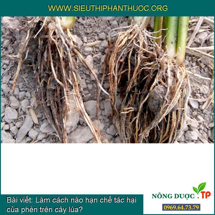 Làm cách nào hạn chế tác hại của phèn trên cây lúa?